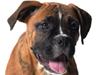 Boxer Puppy  -- Free Cute Animal, Desktop Wallpapers from American Greetings