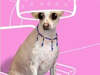 Doggie Chic  -- Free Funny Dogs,Funny  Pets Screensavers from American Greetings