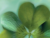Shamrocks  -- Free March Static, Desktop Wallpapers from American Greetings