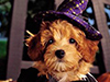 Happy Howloween  -- Free Cute Halloween,Cute  Holiday,Cute Dogs,Cute  Pets Desktop Wallpapers from American Greetings