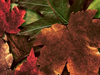 Fall Leaves  -- Free Traditional Celebrate Fall, Desktop Wallpapers from American Greetings
