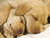 Sleeping Puppies  -- Free Dogs, Pets Desktop Wallpapers from American Greetings