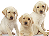 Cute Retriever Puppy  -- Free Dogs Animal, Pets Animal Desktop Wallpapers from American Greetings