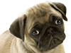 A Cute Pug  -- Free Dogs, Pets Screensavers from American Greetings