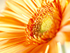 Orange Burst  -- Free Simple Flower,Simple  Nature Desktop Wallpapers from American Greetings