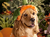 Jack-o-Spaniel  -- Free Cute Dogs Animal,Cute  Pets Animal Desktop Wallpapers from American Greetings