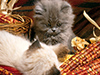 Lazy, Maize-y Kittens  -- Free Just Because Animal, Desktop Wallpapers from American Greetings