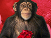 Monkey Love  -- Free February, Desktop Wallpapers from American Greetings