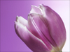 Tulips in Lavender  -- Free Traditional Just Because Nature, Desktop Wallpapers from American Greetings