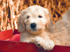 Puppy Hayride  -- Free Cute Just Because Animal, Desktop Wallpapers from American Greetings