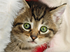 Cat in a Santa Hat  -- Free Cute Pets Christmas,Cute Pets  Holiday Desktop Wallpapers from American Greetings