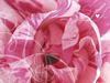 The Sweetest Rose  -- Free Love Valentines Day,Love  Holiday Desktop Wallpapers from American Greetings