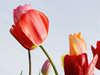 Tulip Row  -- Free Traditional Flower,Traditional  Nature Desktop Wallpapers from American Greetings