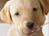 Puppy Patriot  -- Free Cute Pets Holiday, Desktop Wallpapers from American Greetings
