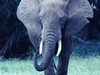 Mighty Elephant  -- Free Traditional Animal, Desktop Wallpapers from American Greetings