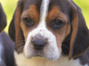 Beagle Buddies  -- Free Cute Pets Animal, Desktop Wallpapers from American Greetings