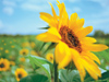 Sunflower Fields  -- Free Traditional Just Because Nature, Desktop Wallpapers from American Greetings