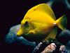 Yellow Tang  -- Free Traditional Animal, Desktop Wallpapers from American Greetings