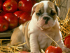 Red Apple Puppy  -- Free Cute Pets Celebrate Fall, Desktop Wallpapers from American Greetings