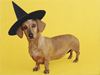 Wiener Witch  -- Free Cute Pets Halloween,Cute Pets  Holiday Desktop Wallpapers from American Greetings