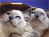 Cats in the Bag  -- Free Cute Pets Just Because, Desktop Wallpapers from American Greetings