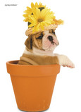 Plant Pot Bulldog 5x7 Folded Card