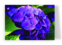Purple Hydrangea 7x5 Folded Card