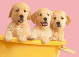 Golden Retriever Puppies for Mom 7x5 Folded Card