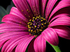 Fuschia Daisy  -- Free Simple, Desktop Wallpapers from American Greetings