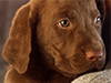 Chocolate Labrador Puppy  -- Free Dogs, Pets Desktop Wallpapers from American Greetings