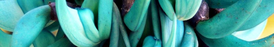 19th Anniversary - jade plant