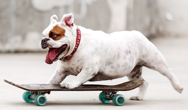 Bulldog riding on a skateboard