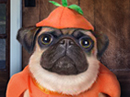 Happy Pugkin Day Talking Card Halloween eCards