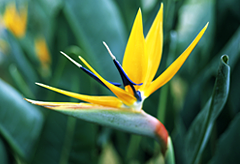 9th anniversary flower:bird of paradise