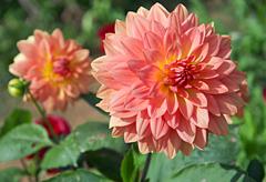 13th anniversary flower:Chrysanthemum