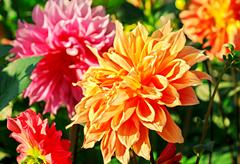 14th anniversary flower:Dahlia