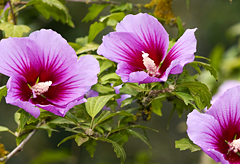 33rd anniversary flower:Rose of Sharon