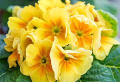 34th anniversary flower:Primrose