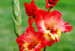 40th anniversary flower: Gladiola
