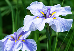 45th anniversary flower: Blue Iris