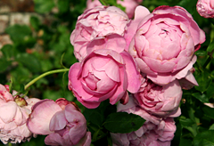 49th anniversary flower: Cabbage rose