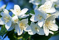 53rd anniversary flower: Jasmine
