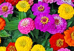 54th anniversary flower: Zinnia