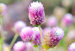 56th anniversary flower:Globe Amaranth
