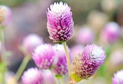 56th anniversary flower:Globe Amaranth