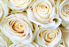 59th anniversary flower:White rose