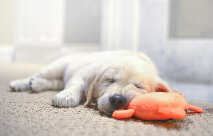 Birthday gift - Take a nap - Relax and rejuvenate - (cute puppy sleeping)